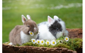 Dlaczego królik nie jest gryzoniem?